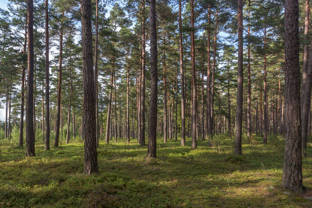 national park forest trees, trees loneliness in summer day, sweden.