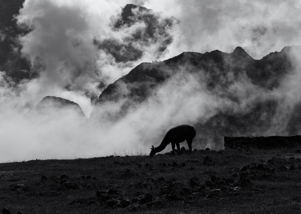 A foggy mountain on a winter day. Llama eating grass with the mountain as a backdrop. Black and white photography.