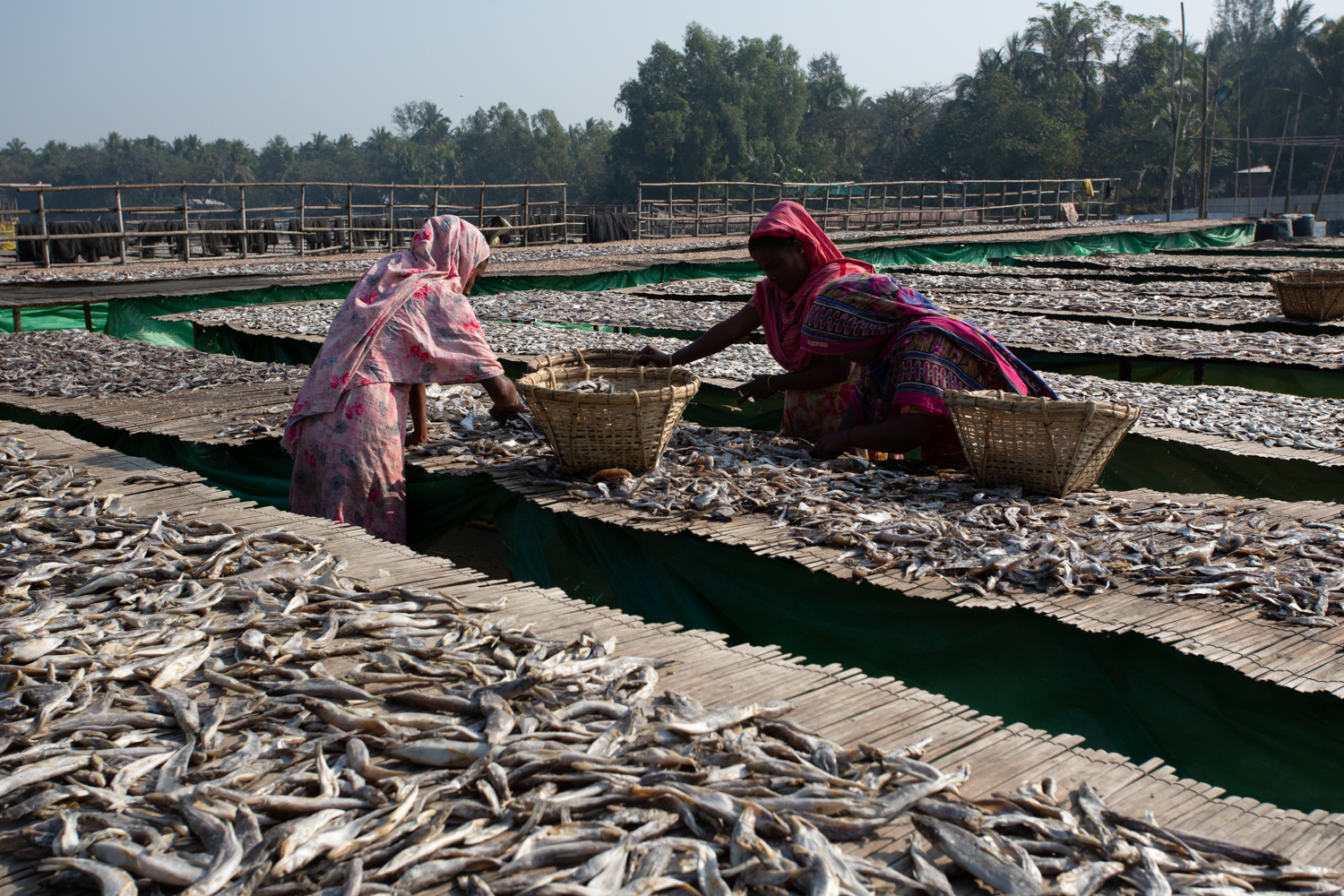 Women working together to collect and sort fish from racks at Dhaka - Bangladesh Dried Fish Village.