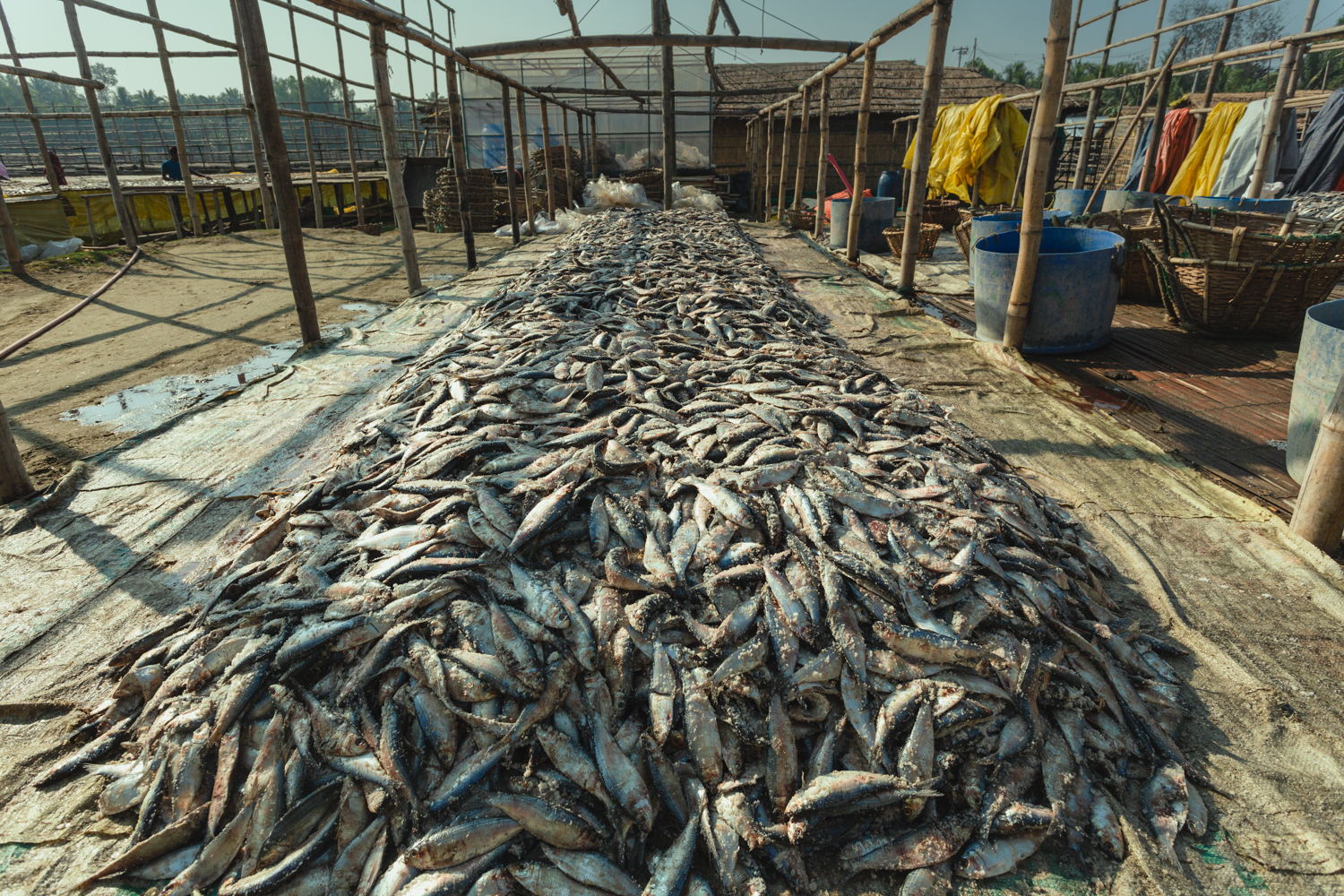 Dried fish preparation for distribution to the population in Dhaka - Bangladesh.